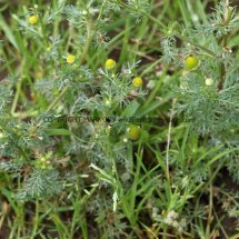 Pineapple Weed (Matricaria discoidea) (1)