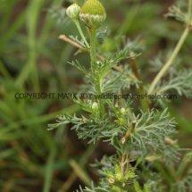 Pineapple Weed (Matricaria discoidea) (2)