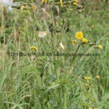 Prickly Sow-thistle (Sonchus asper) (2)