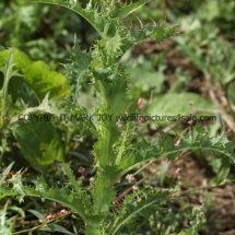 Prickly Sowthistle (Sonchus asper) (1)