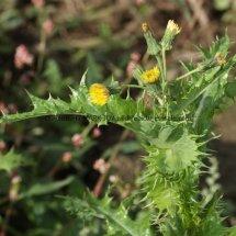 Prickly Sowthistle (Sonchus asper) (3)