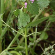 Purple Dead Nettle (Lamium purpureum) (2)