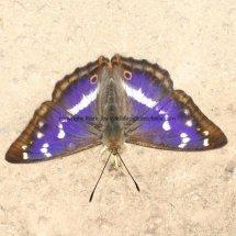 Purple Emperor (3)