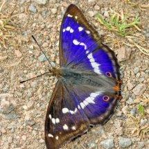 Purple Emperor (9)