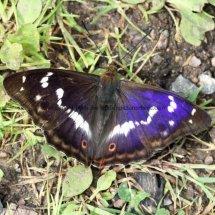 Purple Emperor (18)