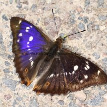 Purple Emperor (6)