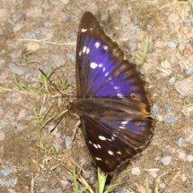 Purple Emperor (7)