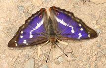 Purple Emperor (1)