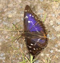 Purple Emperor aberration 23.7.2012 (2)