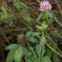 Red Clover (Trifolium pratense) (1)