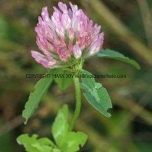 Red Clover (Trifolium pratense) (2)
