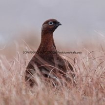 Red Grouse 15.2.2017 (3)