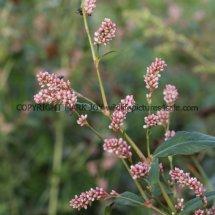 Redshank (Persicaria maculosa) (1)