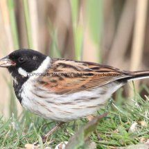 Reed Bunting (6)