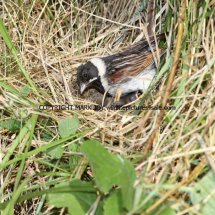 Reed Bunting 77 (11)