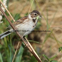 Reed Bunting 77 (12)