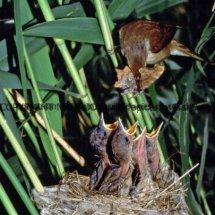 Reed Warbler 1 (5)