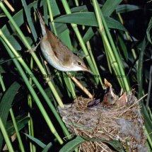 Reed Warbler 1 (6)
