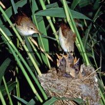 Reed Warbler 1 (7)