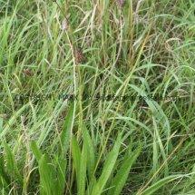 Ribwort Plantain (Plantago lanceolata) (1)