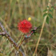 Robin's Pin-Cushion Gall (Diplolepis rose)