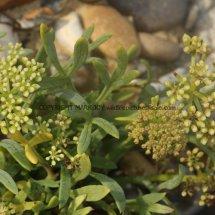 Rock Samphire (Crithmum maritimum) (4)