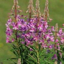 Rose Bay Willow Herb (1)
