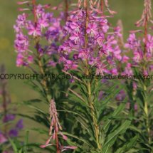 Rose Bay Willow Herb (2)