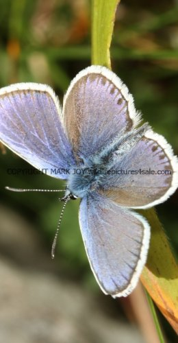 SILVER STUDDED BLUE (Great  Orme) ssp Caernensis (10)