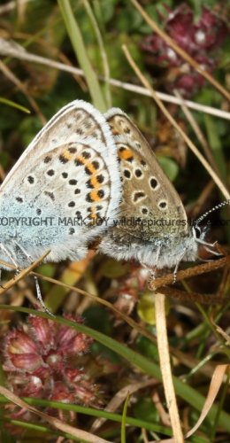 SILVER STUDDED BLUE (Great  Orme) ssp Caernensis (12)
