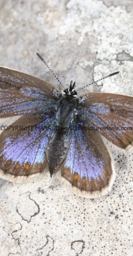 SILVER STUDDED BLUE (Great  Orme) ssp Caernensis (18)