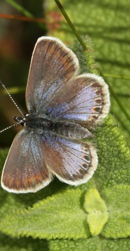 SILVER STUDDED BLUE (Great  Orme) ssp Caernensis (19)