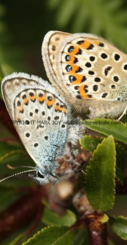 SILVER STUDDED BLUE (Great  Orme) ssp Caernensis (20)