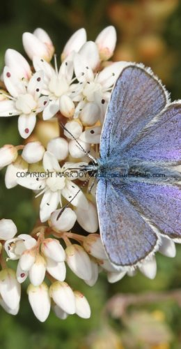 SILVER STUDDED BLUE (Great  Orme) ssp Caernensis (21)