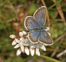 SILVER STUDDED BLUE (Great  Orme) ssp Caernensis (3)