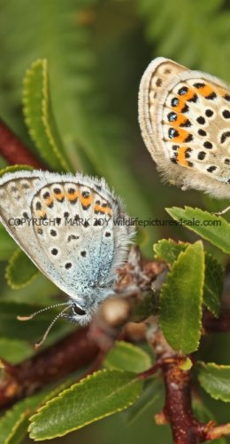 SILVER STUDDED BLUE (Great  Orme) ssp Caernensis (5)