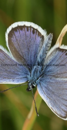 SILVER STUDDED BLUE (Great  Orme) ssp Caernensis (6)