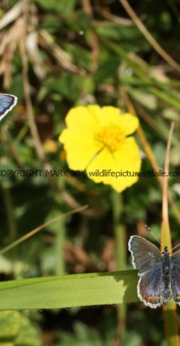 SILVER STUDDED BLUE (Great  Orme) ssp Caernensis (7)