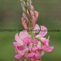 Sainfoin (Onobrychis viciifolia) (1)