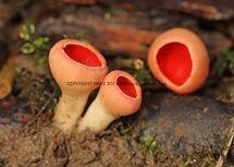 Sarcoscypha austriaca Scarlet Elfcup NORTHANTS (6)