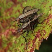 Sciomyzidae fly (marsh fly or snail-killing fly) (Coremacera marginata) (1)