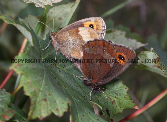 Scotch Argus mating (2)