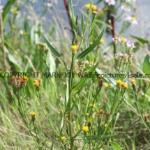 Sea Aster no flowers (Aster tripolium) (1)