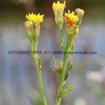 Sea Aster no flowers (Aster tripolium) (2)