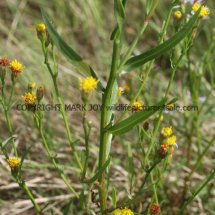 Sea Aster no flowers (Aster tripolium) (3)