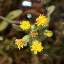 Sea Aster no flowers (Aster tripolium) (5)