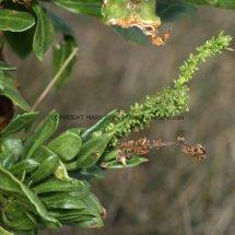 Sea Beet or Wild Beet (Beta vulgaris ssp maritima) (2)