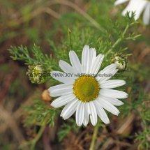 Sea Mayweed (Tripleurospermum maritimum) (2)