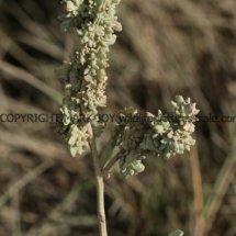 Sea Purslane (Atriplex portulacoides) (1)