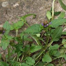 Selfheal (Prunella vulgaris) (2)